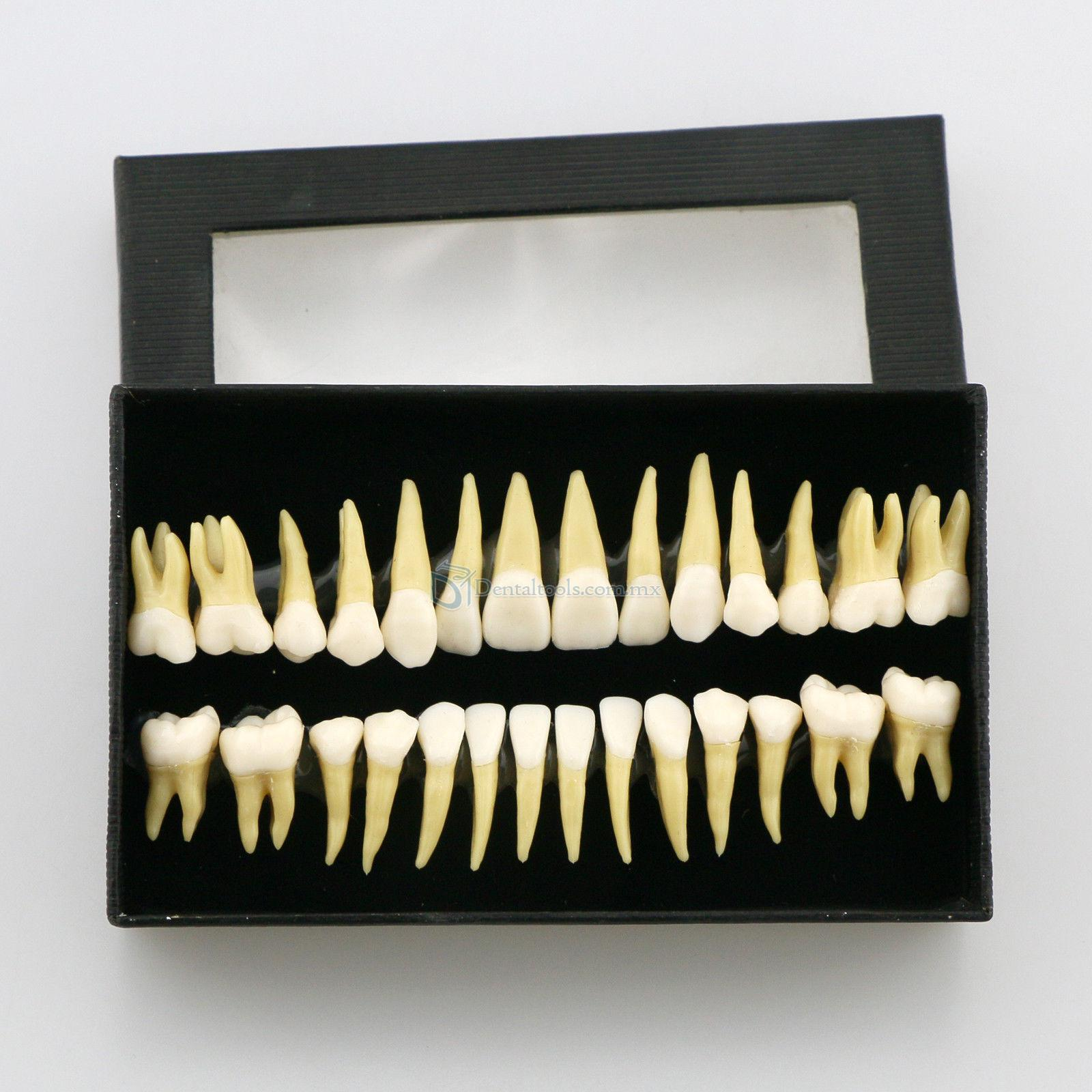 28 Pcs 1:1 Permanente completa dental modelo dientes #7008